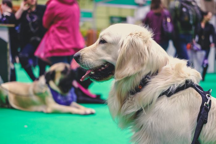 Woody coping well around other dogs at Crufts